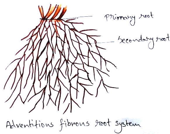 Adventitious Fibrous Root System