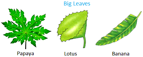 Papaya, lotus, banana have big leaves.