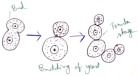 Budding of Yeast