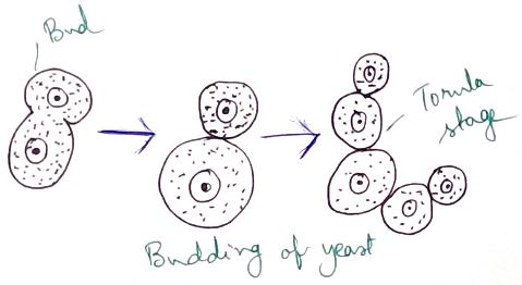 Budding of Yeast