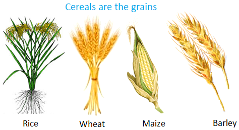 Cereals are the Grains