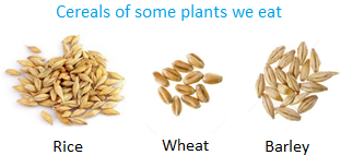 Cereals of some Plants we Eat
