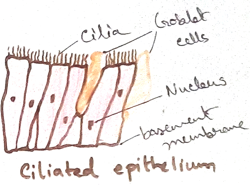 Cilliated Epithelial Tissue