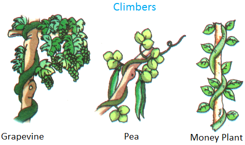 Climbers, Grapevine, pea, money plant