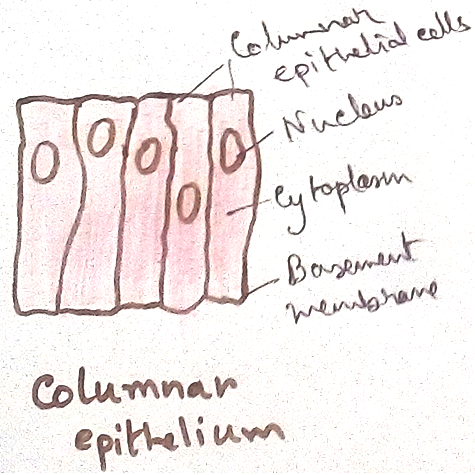 Columnar Epithelial Tissues