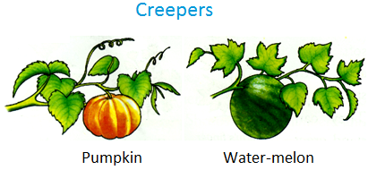 Creepers, Pumpkin, water-melon, bottle gourd