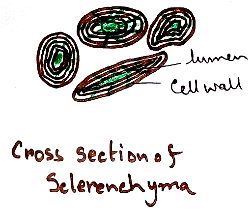 Cross Section of Sclerenchyma