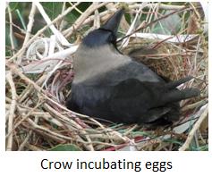 Crow Incubates Eggs