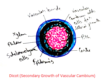 Dicot - Secondary Growth of Vascular Cambium