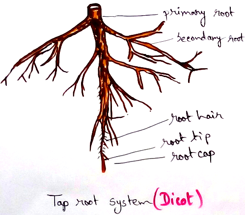 Dicot Tap Root System