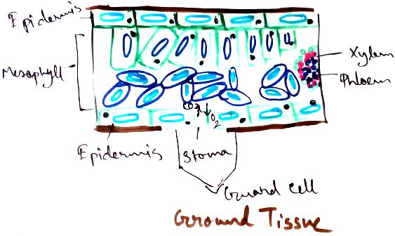 Ground Tissue