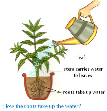 How the Root take up the Water?