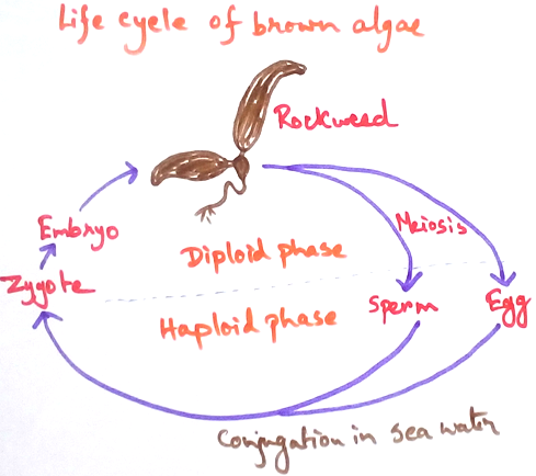 Life Cycle of Brown Algae