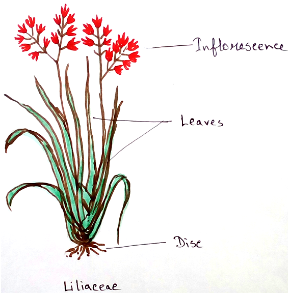 Liliaceae Family Plants