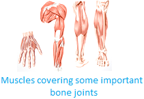 Muscles Cover the Joints
