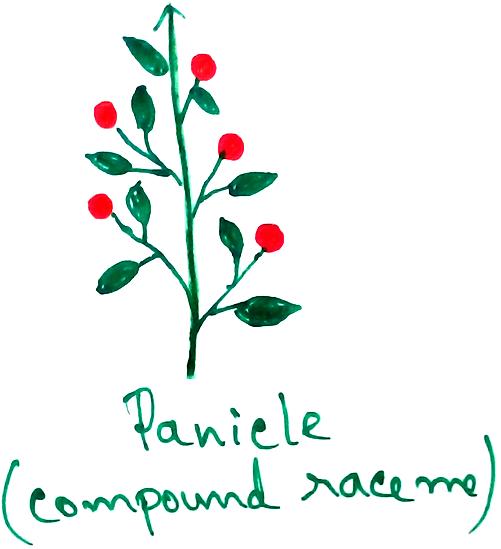 Panicle