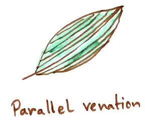 Parallel Venation