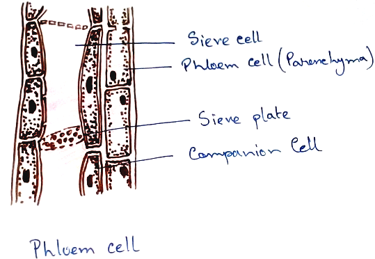 Phloem Cell