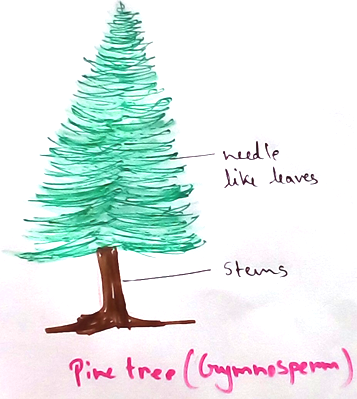 Pine Tree Gymnosperm