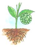 Plants Breathe through Stomata