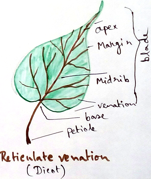 Dicot - Reticulate Venation