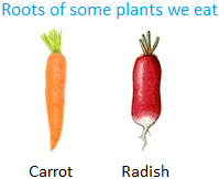 Roots of some Plants we Eat