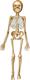 Picture of the Skeleton