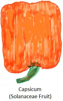 Solanaceae Fruit