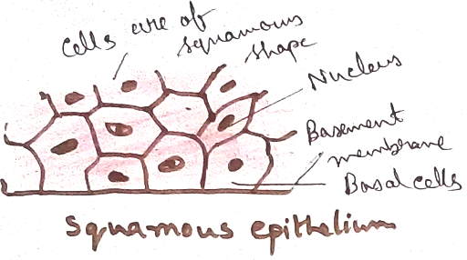 Squamous Epithelial Tissues