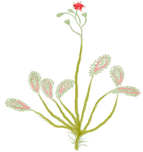 Sundew Plant Eats Insects
