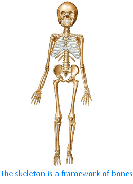 The Skeleton is a Framework of Bones