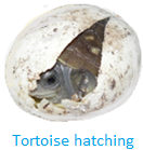 Tortoise Hatching