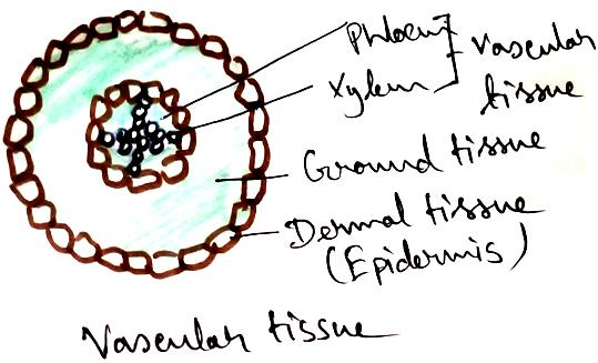 Vascular Tissues