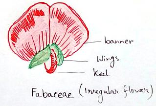Irregular flower - Fabaceae