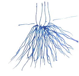 Adventitious Root