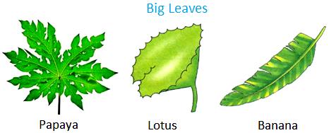 Papaya, lotus, banana have big leaves.
