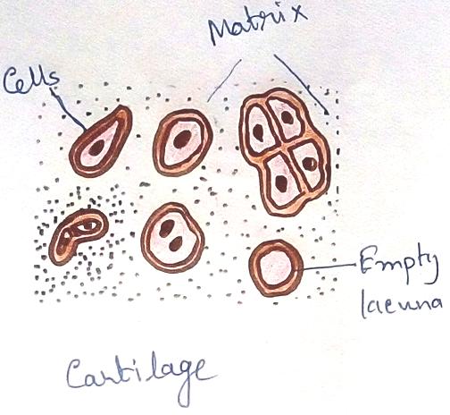 Cartilage
