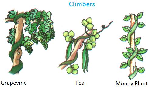 Climbers, Grapevine, pea, money plant