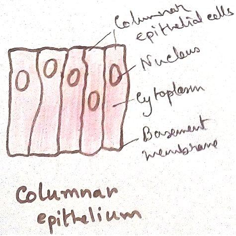 Columnar Epithelial Tissues