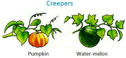 Creepers, Pumpkin, water-melon, bottle gourd