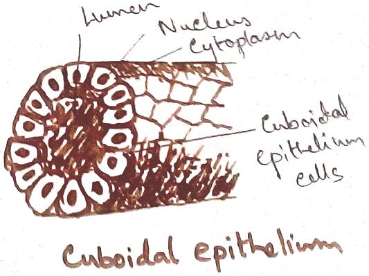 Cuboidal Epithelial Tissue