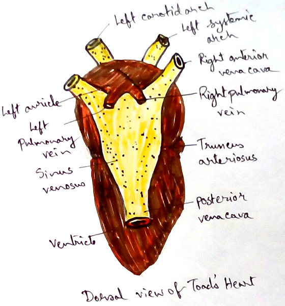 Dorsal View of  Toad's Heart
