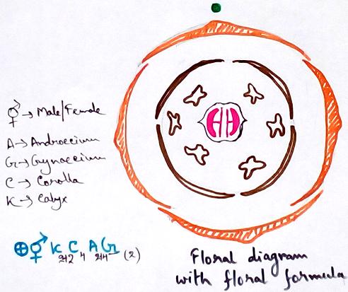 Floral Diagram with Floral Formula