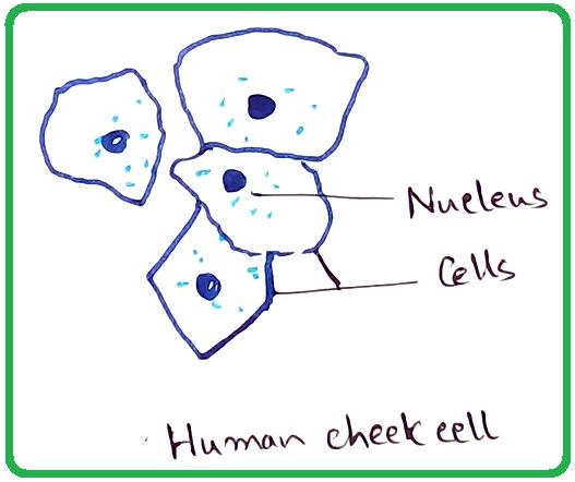 Human Cheek Cells Under the Microscope