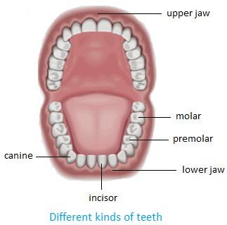 Kinds of Teeth