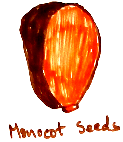 Monocot Seeds