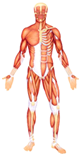 Muscles Covering Bones