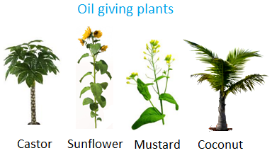 Oil giving Plants