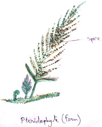 Pteridophyta Fern
