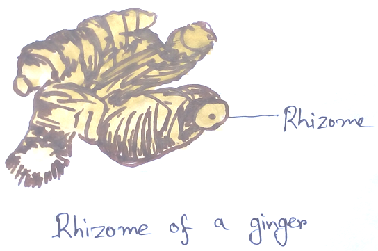 Rhizome of a Ginger